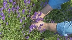 Lavendel Schneiden Im Herbst : lavendel richtig schneiden mit der zwei drittel ein ~ Lizthompson.info Haus und Dekorationen