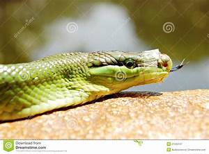 Green Mamba Snake With A Taped Mouth Royalty Free Stock ...