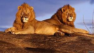 Lion HD Wallpapers 1080p WallpaperSafari