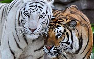 White Bengal Tiger Wallpapers