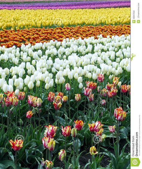 tulip washington skagit field festival state preview