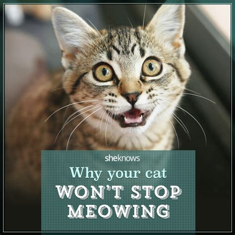 Cat meows a lot at me