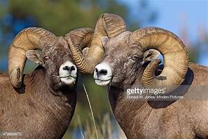 A Ram Stock Photos and Pictures | Getty Images