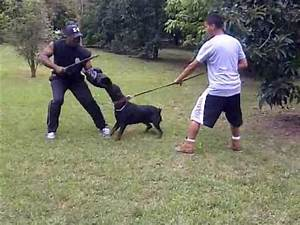 rottweiler sasha protection training k9 enforcement With rottweiler guard dog training