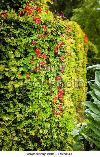 Yew Hedge Stock Photos & Yew Hedge Stock Images Alamy