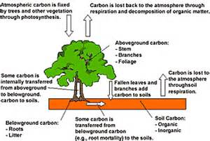 carbon sequestration forest carbon basics carbon