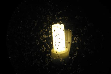 why are bugs attracted to light why are bugs attracted to light farmers 39 almanac