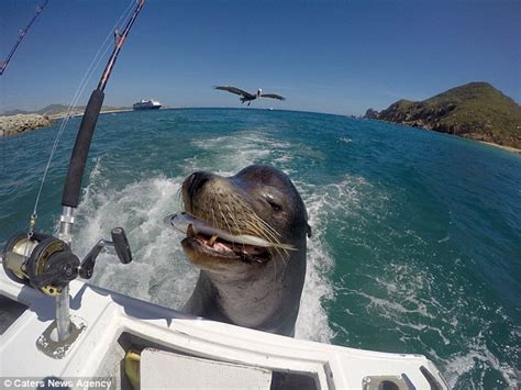 Sea Lion Boats by Sea Lion In Los Cabos Mexico Is Fed A Fish After Hitching