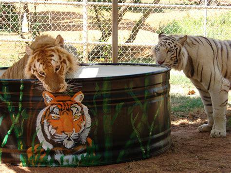Nishchala White Bengal Tiger Kahil Male Golden