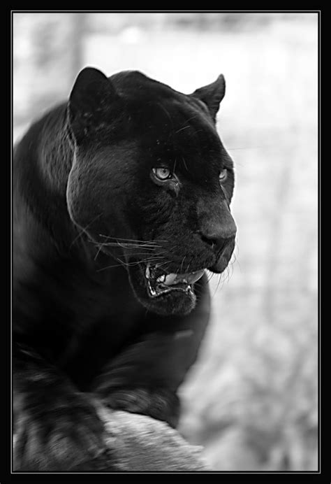 Black Panther Large Cat Passion