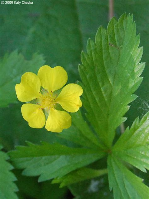 potentilla simplex common cinquefoil minnesota wildflowers