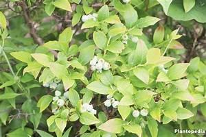 Wann Heidelbeeren Pflanzen : blaubeeren heidelbeeren anbauen pflanzen schneiden und erntezeit plantopedia ~ Orissabook.com Haus und Dekorationen