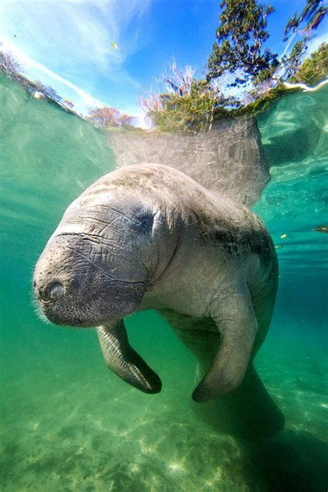 Manatee Animals Manatee Sea Cow Ocean Creatures