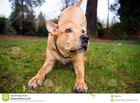 pitbull lab mixed breed dog stock  image