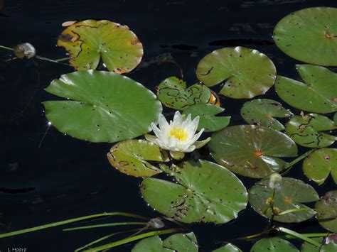 what do water lilies eat the retirement chronicles water lilies and lily pads as far as the eyes could see