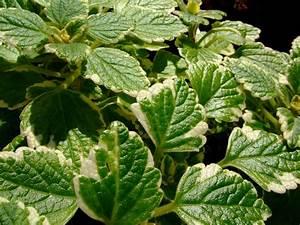Weihrauch Pflanze Winterhart : weihrauchpflanze der duftende mottenk nig ~ Lizthompson.info Haus und Dekorationen