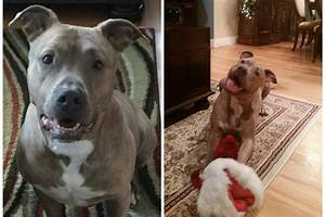 Killer Pit Bull Has Right To Fair Trial Before Being