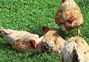 How is pecking order decided? - Care and Advice - Your ...