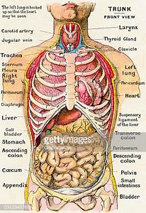Anatomical View Of Human Torso High-res Vector Graphic