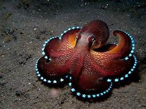 Bioluminescent Octopus : pics
