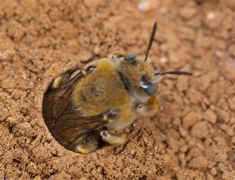 ground dwelling bees ground bee flickr photo sharing