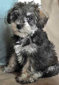 schnoodle designer dog breed miniature and giant