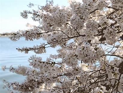 Cherry Blossoms Blossom Gifs Bloom Washington Trees