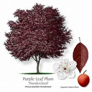 Fruit Tree  Plum  Prunus Sp