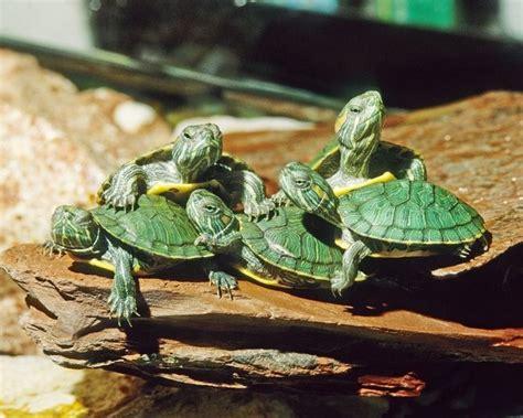 slider turtle slider turtle they look cute turtle love pinterest