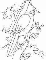 Nightingale Coloring Hummingbird Branch Sheets Perched Drawing Clipart Clip Pages Printable Library Popular Getcolorings sketch template