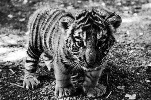 baby animal, cub, cute, tiger cub - image #121066 on Favim.com