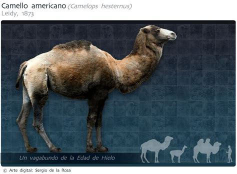 camello americano camelops hesternus birds dogs