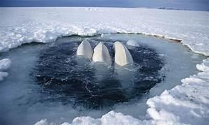 Beluga | Whales |Species | WWF