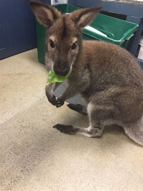pet wallaby east rockaway man explains controversy over pet wallaby herald community newspapers www