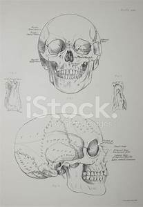 Human Skull Diagram Stock Vector
