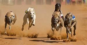 Humane Society International :: Greyhound Racing