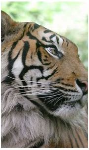 nature, Animals, Tigers Wallpapers HD / Desktop and Mobile ...
