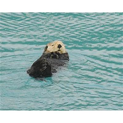 Sea Otter. Prince William Sound. Alaska.Ian MooreFlickr