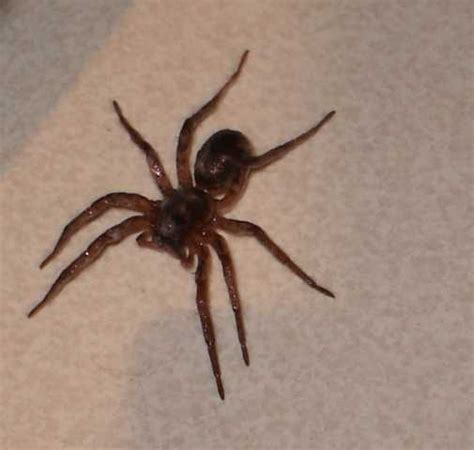 are wolf spiders dangerous the australian wolf spider is it dangerous