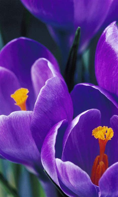 tulip wallpaper screensavers wallpapersafari