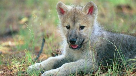 Animal Cubs Wallpapers - animals wolf baby animals cubs wallpapers hd desktop