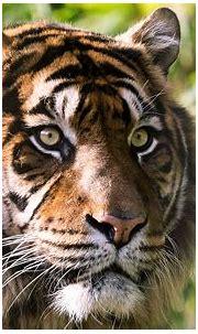 Tiger 4K Wallpapers   HD Wallpapers
