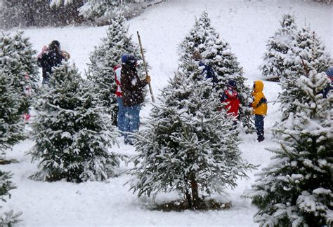 places to cut your own christmas tree in massachusetts