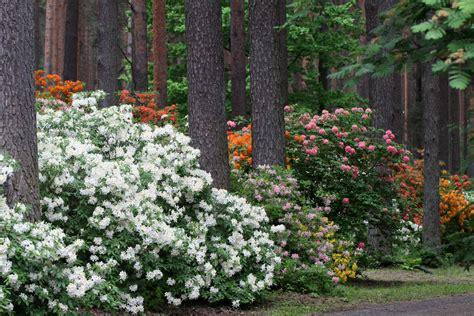 rododendru-audzetava-2 - Ceļveži.lv