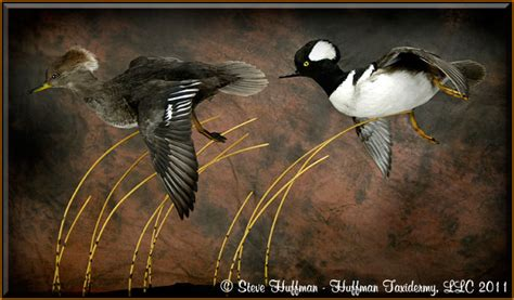 hooded merganser flying taxidermy mount huffman