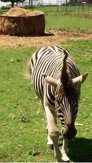 Zebra 3D HD image of 2304x1728   3D Animal Wallpaper Free ...