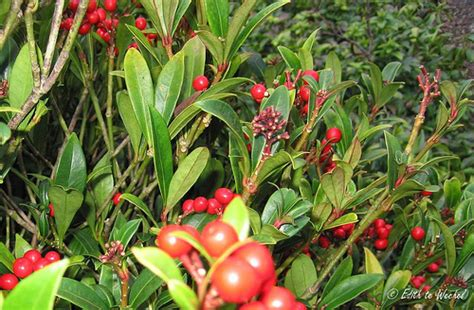 small evergreen shrub with berries photo