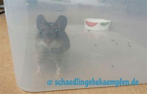 verbotene mittel gegen maulwurf rattenfalle selber bauen anleitung schnelle hilfe gegen ratten