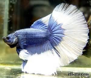 Butterfly Betta Fish Delta