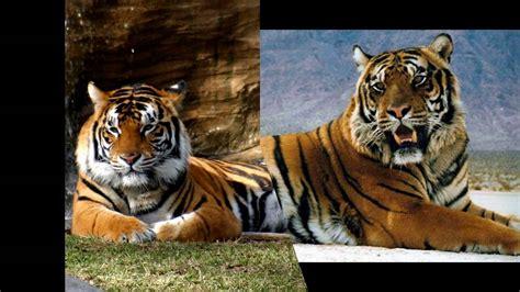 vintage maserati ghibli giant siberian tiger